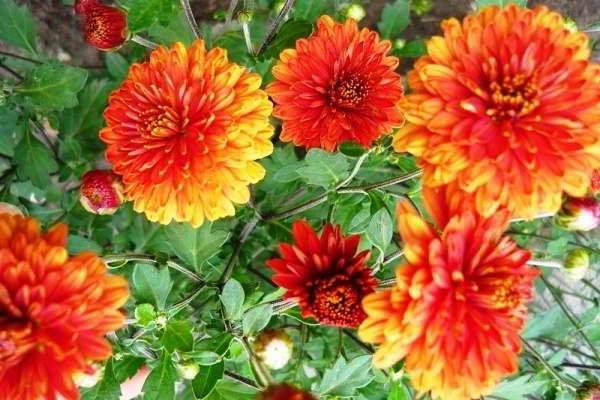 хризантема садовая многолетняя посадка и уход фото размножение
