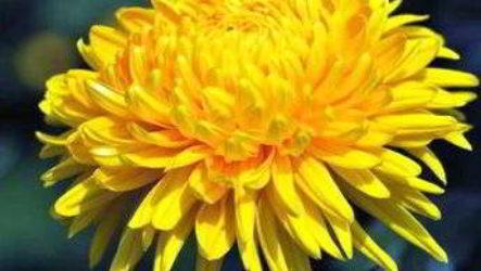Хризантема садовая – посадка и уход за многолетником, фото