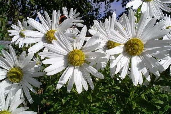 хризантема садовая многолетняя посадка и уход фото