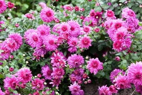 хризантема садовая многолетняя посадка и уход фото зимовка