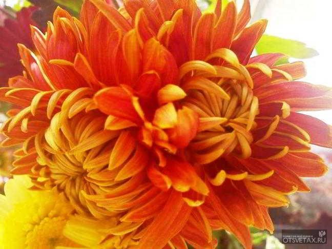 хризантема комнатная уход в домашних условиях после цветения