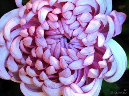 хризантема в горшке уход в домашних условиях цветение
