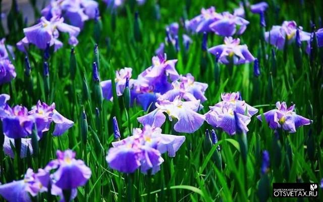 ирис посадка и уход в открытом грунте весной