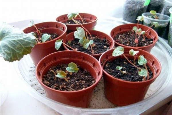 цикламен выращивание и уход в домашних условиях