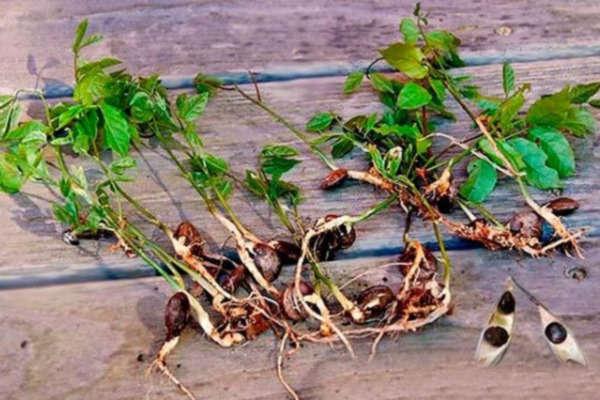 глициния выращивание и уход фото