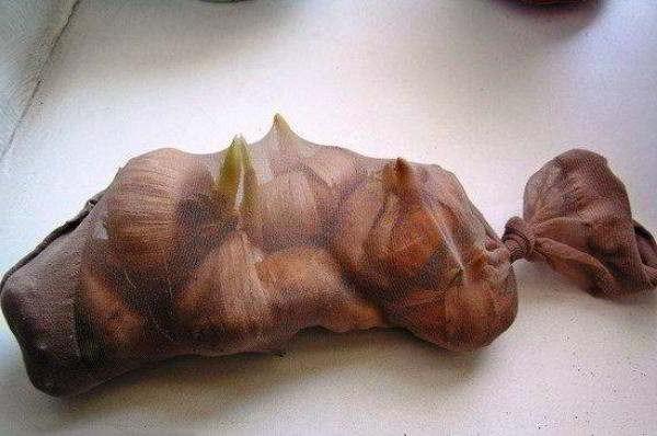 в чём хранить луковицы гладиолуса зимой