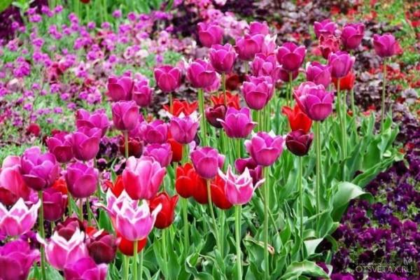 тюльпаны посадка и уход в открытом грунте осенью