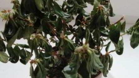 Азалия засохла: как реанимировать и оживить цветок, лучшие методы