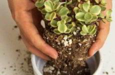 Денежное дерево: как пересадить пошагово, по фен-шуй