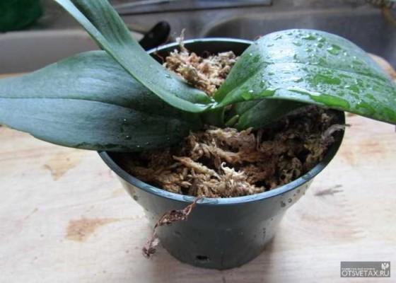 как пересадить орхидею в домашних условиях видео