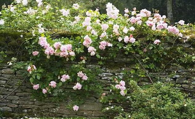 укрытие роза зима