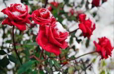 Правильная подготовка роз к зимовке