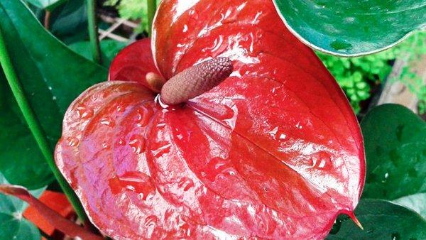 как поливать цветок антуриум