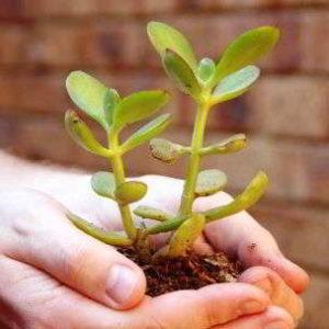 Как посадить денежное дерево правильно чтобы в доме водились деньги