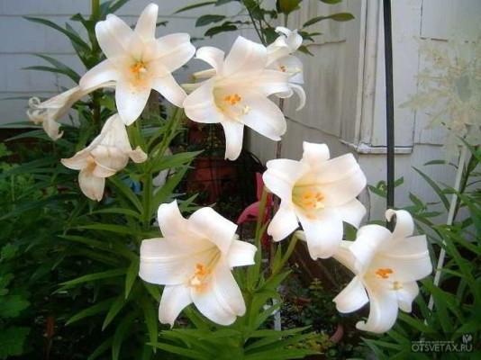 когда сажать лилии без ростков