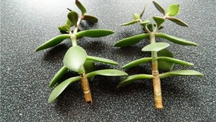 Денежное дерево: как подготовить и посадить отросток в воду, без корешков, по фэн-шуй