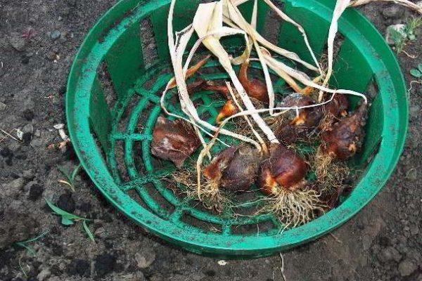 как сохранить луковицы тюльпанов зимой в домашних условиях