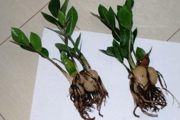 долларовое дерево фото уход в домашних условиях фото