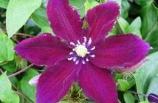 Размножение клематиса: черенками, семенами и отводками летом, в домашних условиях