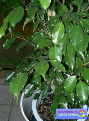 уход за фикусом в домашних условиях желтеют листья