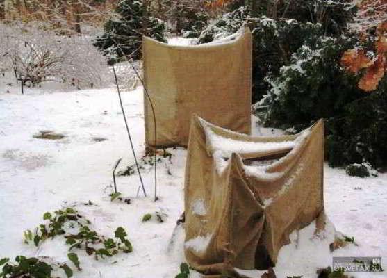 как укрыть гортензию на зиму в сибири