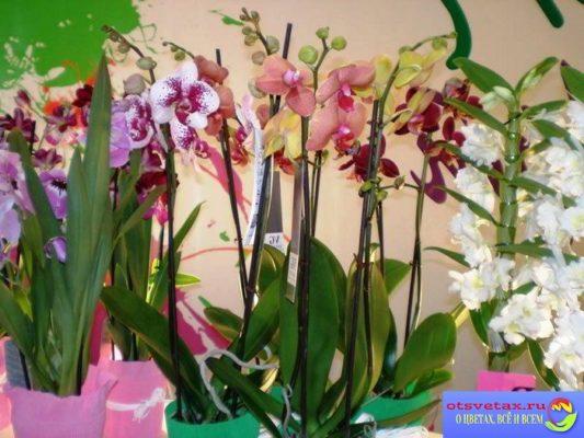 как выбрать орхидею в горшке