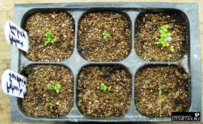 как вырастить ампельную петунию из семян в домашних условиях