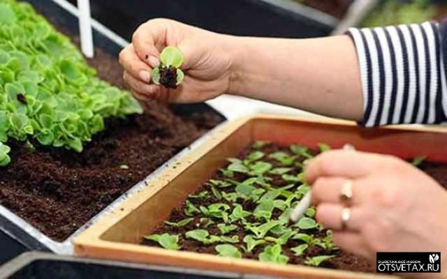 как вырастить петунию из семян в домашних условиях как и когда сеять