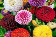 Циния: выращивание из семян в домашних условиях, открытом грунте