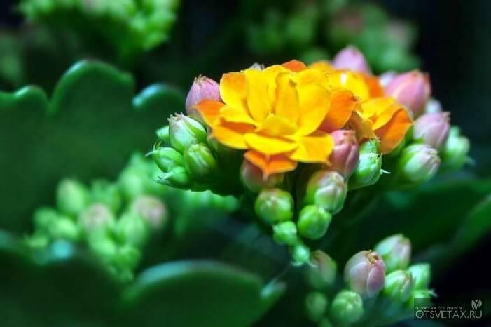 каланхоэ уход в домашних условиях почему не цветет