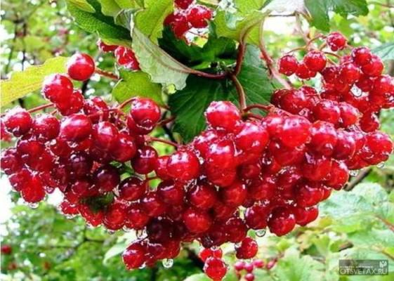 калина красная полезные свойства и противопоказания рецепты