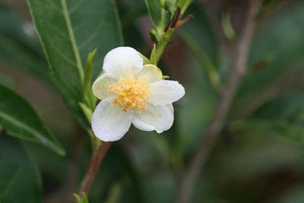 камелия уход и выращивание в домашних условиях в саду
