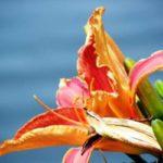 карликовый лилейник фото