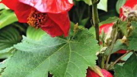 Домашние цветы абутилон выращивание