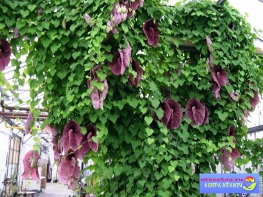 вьющиеся растения для забора быстрорастущие цветущие