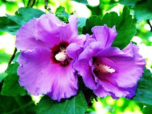 китайская роза или гибискус цветок смерти