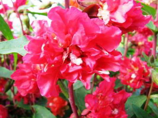 цветок кларкия изящная фото