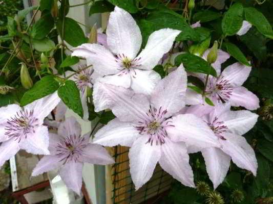 цветы клематисы сорта и фото