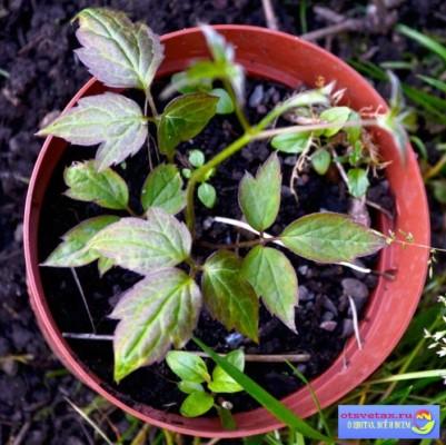 клематисы из семян посадка и уход дома