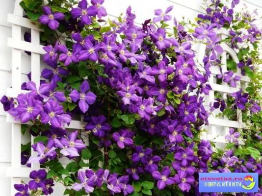 вьющиеся растения для забора быстрорастущие однолетники