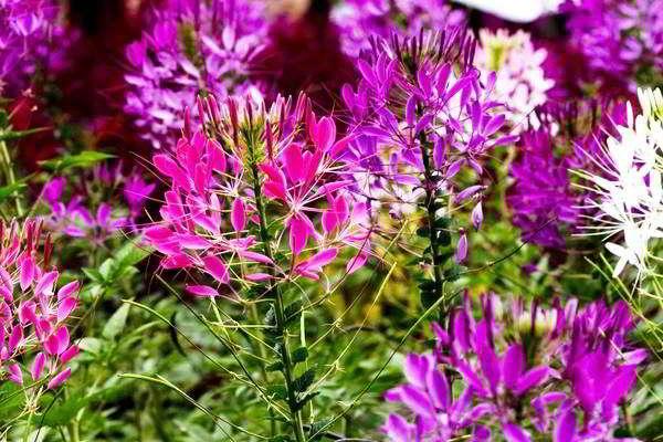 цветок клеома