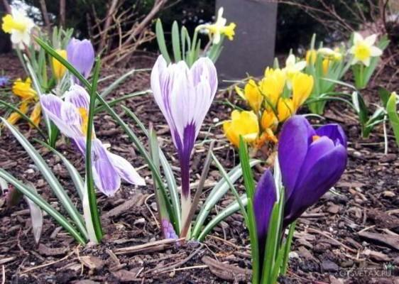 когда и как сажать крокусы весной