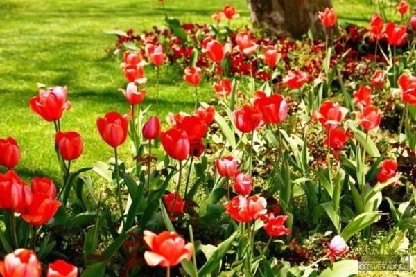 тюльпаны когда сажать луковицы осенью в сибири