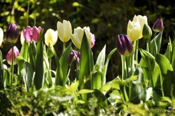 тюльпаны когда сажать луковицы осенью видео