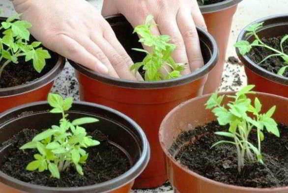 помидоры для открытого грунта для подмосковья