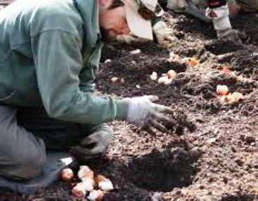 Когда сажать тюльпаны осенью в Ленинградской области