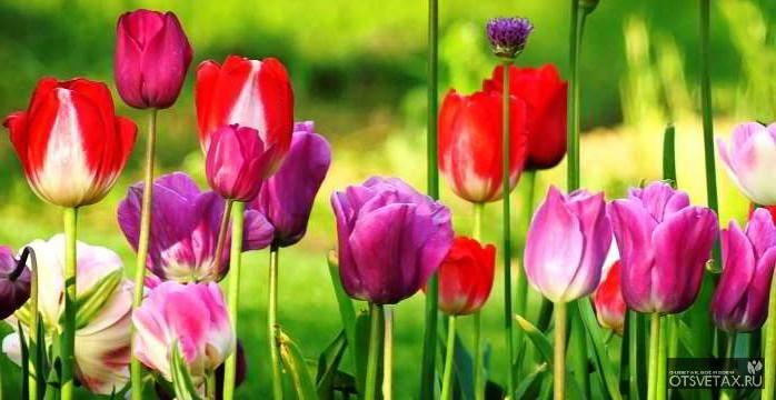 посадка тюльпанов осенью в подмосковье видео