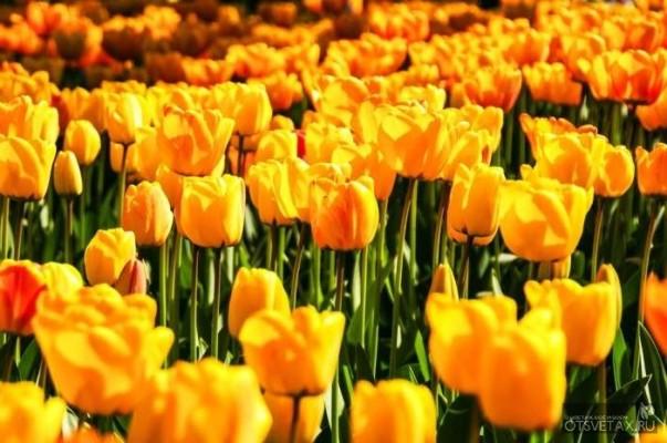 тюльпаны посадка и уход в открытом грунте весной видео