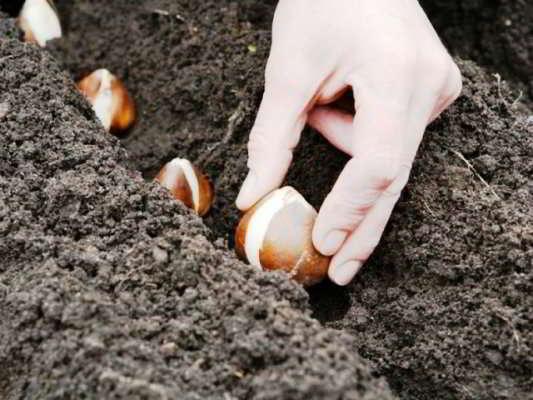 тюльпаны когда луковицы высаживать