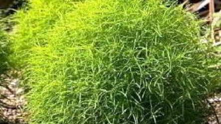 Кохия: выращивание из семян когда сажать в открытый грунт